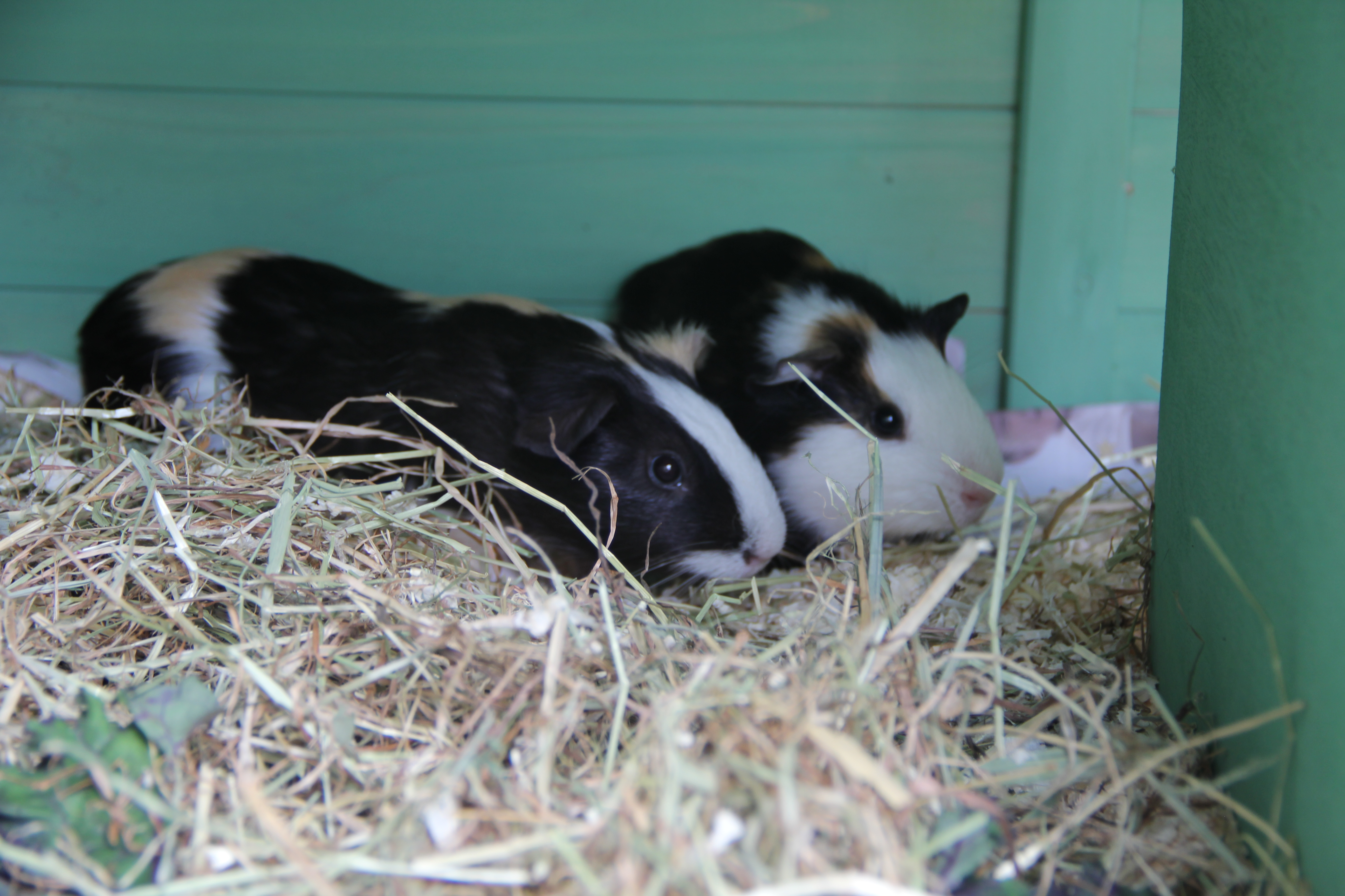 Guinea pigs take up residence to provide therapy for service users